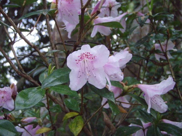 Sakurathuthuji