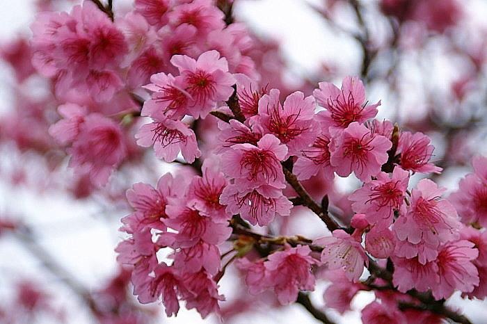 Sakura3a_2